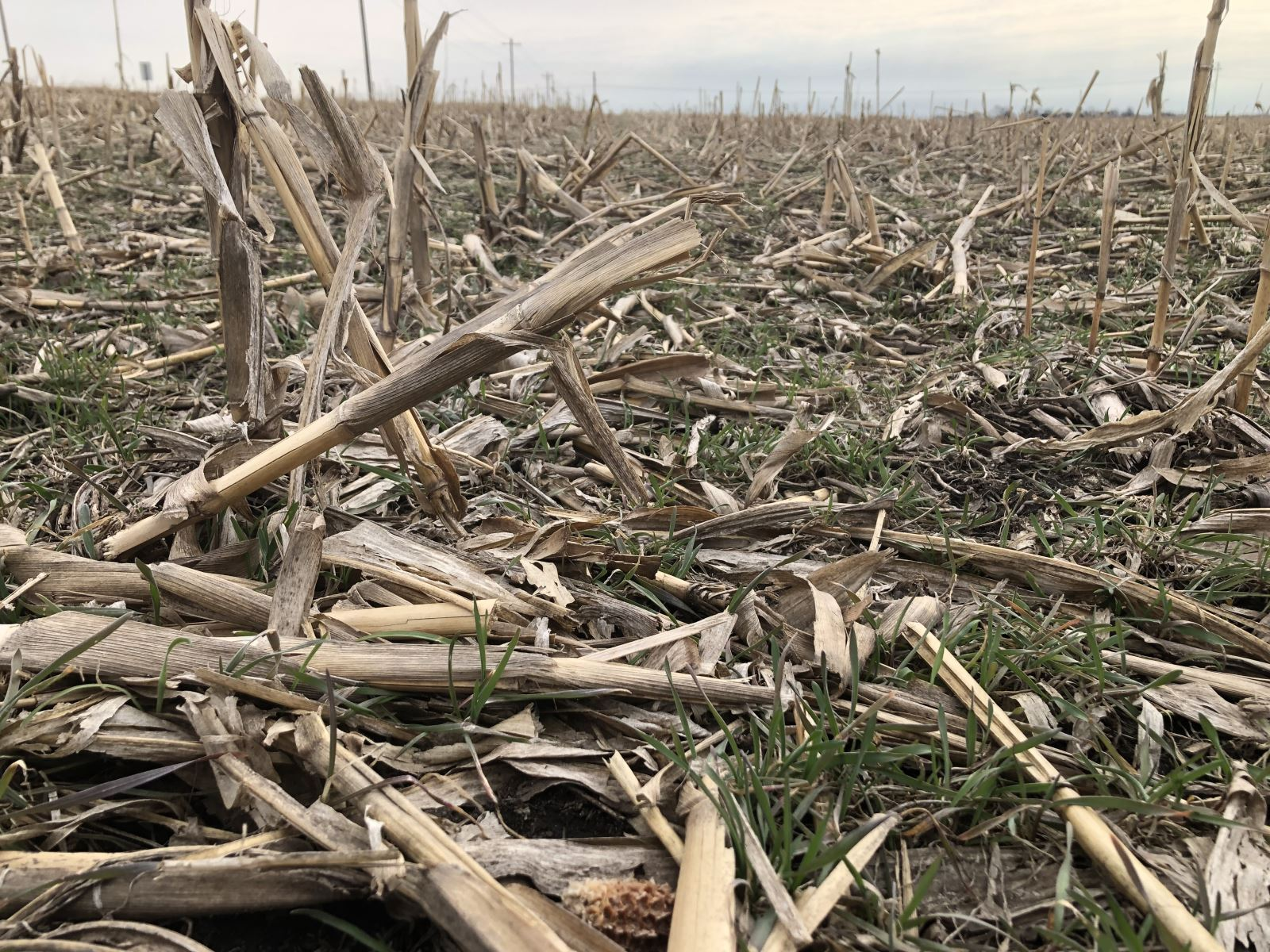 Cover Crop in Corn Residue