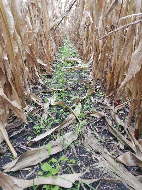 Field Days in November highlight cover crop benefits and risk management