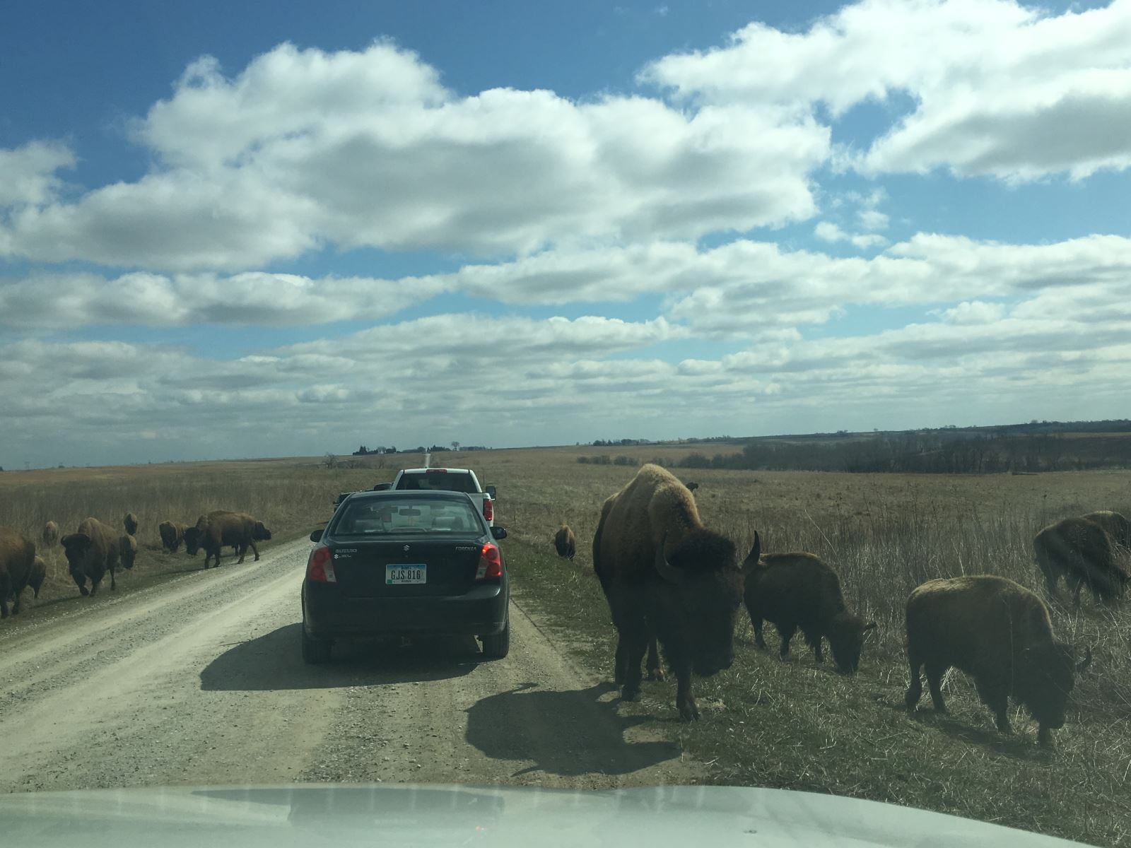 Buffaloes on the road at the Neal Smith Wildlife Refuge